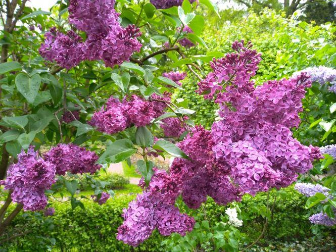 Lilaki w Ogrodzie Botanicznym Uniwersytetu Warszawskiego